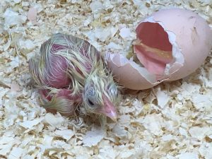 Baby chick lying next to it's egg shell
