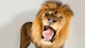 Photo of a roaring lion