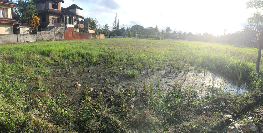 One of the fields near our house in Ubud