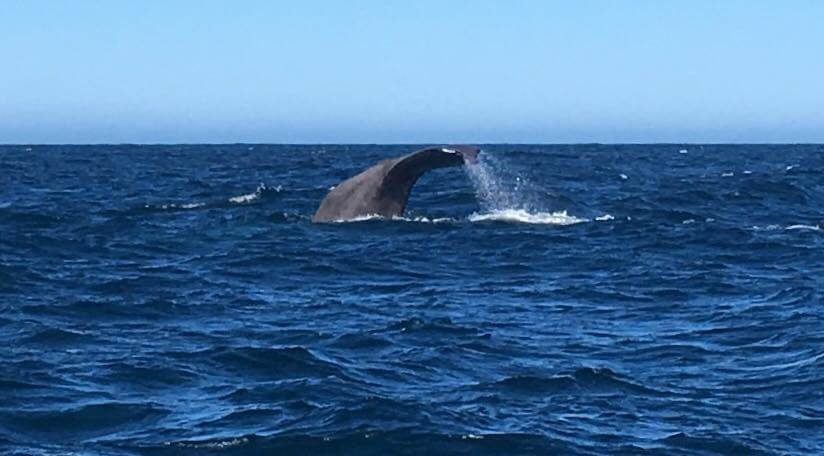 Whale tail about to splash into the sea